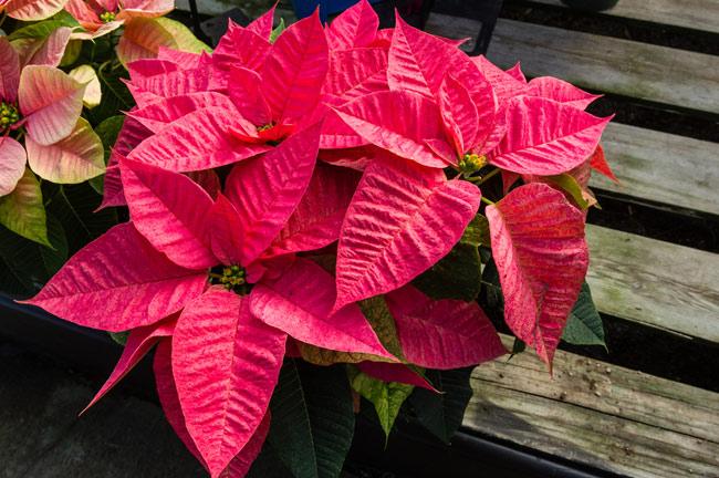 Cuidados de la flor de pascua plantas navide as - Que cuidados necesita la flor de pascua ...